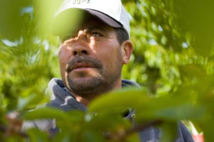 Miguel Gomez inspects rows of cherry trees at Canyon View Orchards in the small town of Benton City, Wash. An immigrant from Mexico, Gomez has lived in Benton since 1985 and is one of the few employees with yearlong employment at the orchard. (Benton City WA, 2007)