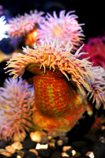 Sea Anemone at the Oregon Coast Aquarium (Newport OR, 2016)