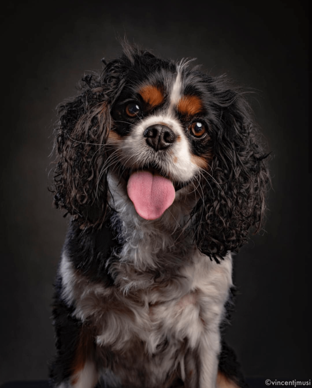 A tri-colored cavalier king charles spaniel in a photography portrait by VIncent J. Musi